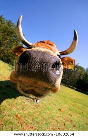 beautiful crazy cow - stock photo