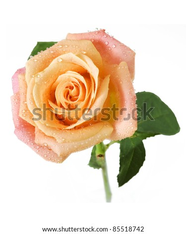 Beautiful cream rose with leaves and water drops isolated on white - stock photo