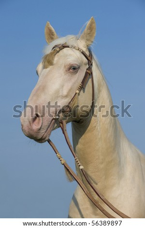 Beautiful cremello pureblood horse portrait on a blue sky background