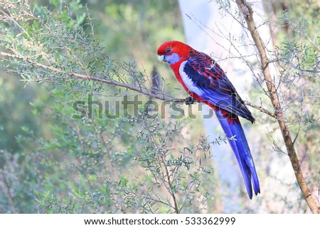 Beautiful Crimson Rosella, Australian Native Parrot