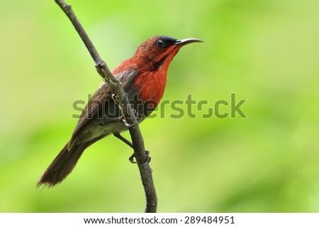 Beautiful Crimson Sunbird perching on branch - stock photo