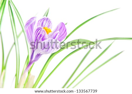 beautiful crocus flower with leaves background - stock photo