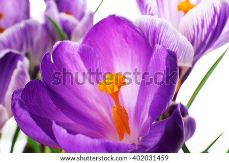 Beautiful crocus flowers closeup