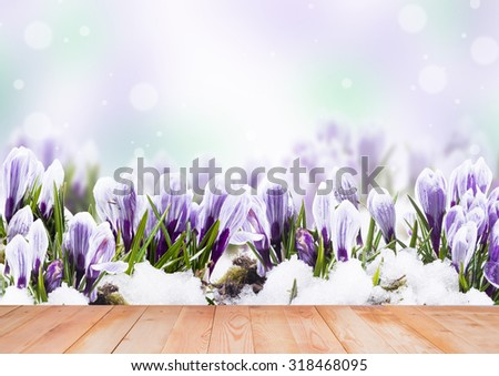 Beautiful crocus flowers in closeup with wooden background - stock photo