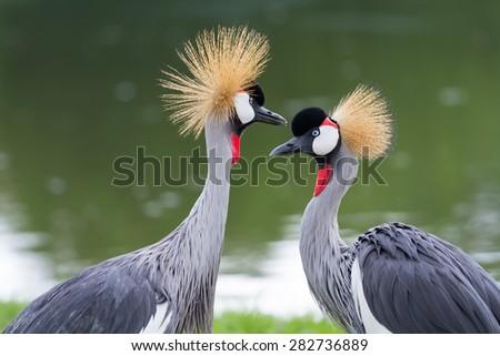 Beautiful crowned crane feeding in the wild. - stock photo