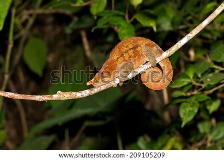 Beautiful Cryptic or blue-legged Chameleon (Calumma crypticum) at night in Ranomafana national park, Madagascar - stock photo