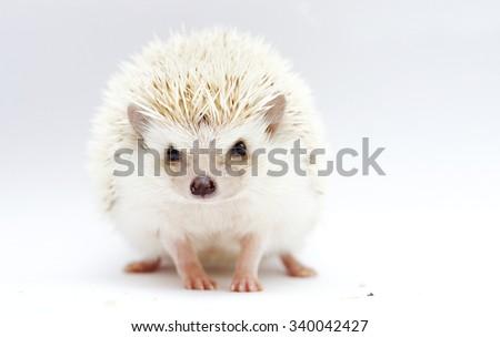 Dark Cinnicot Hedgehog