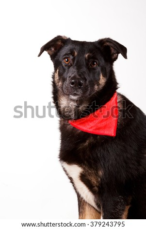 beautiful cute black and tan mutt dog in red bandana collar isolated