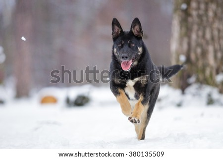 beautiful cute black and tan mutt dog in red bandana collar walking outdoor in winter forest - stock photo