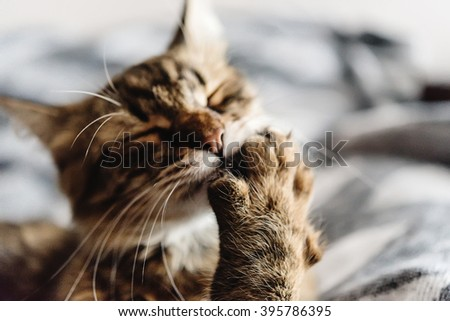 beautiful cute cat licking his paw on stylish bed with funny emotions on background of room - stock photo