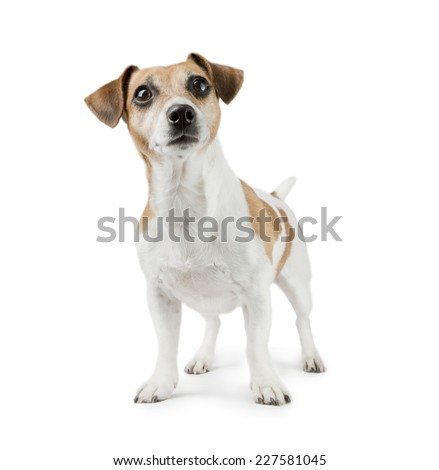 Beautiful cute dog Jack Russell Terrier on a white background looking at the camera in full length - stock photo