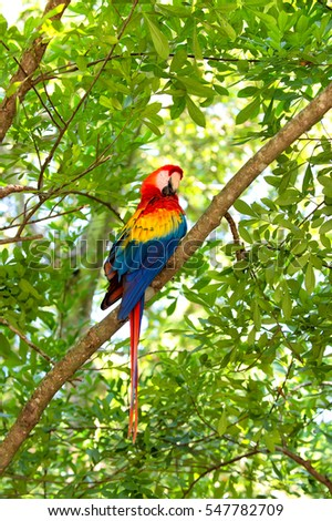 beautiful cute funny bird of red, blue, yellow feathered ara parrot outdoor on green natural background