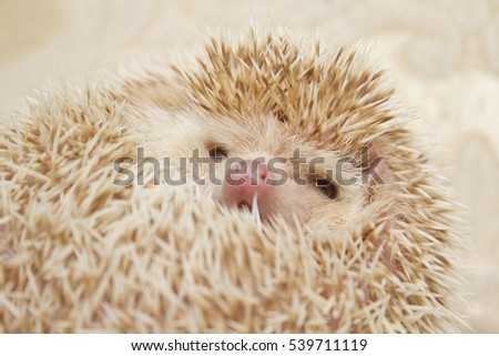 beautiful, cute hedgehog cinnamon girl rolled up in a ball, humorous position on a gold background Christmas