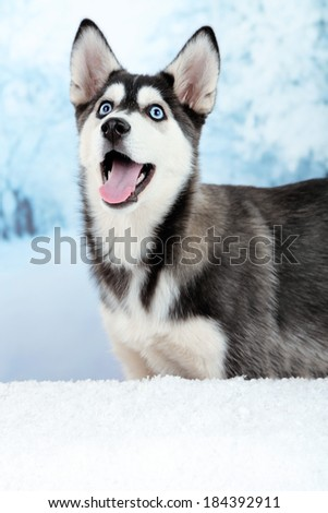 Beautiful cute husky puppy, on winter background