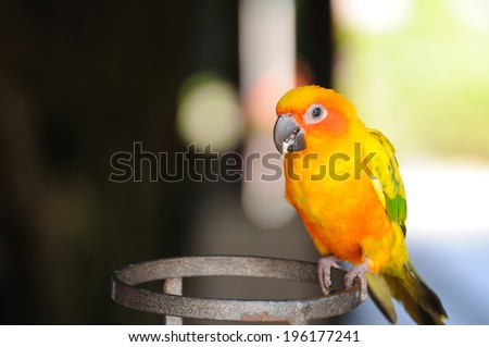 Beautiful cute Red-breasted Parakeet. - stock photo