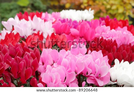 Beautiful cyclamen flowers - stock photo