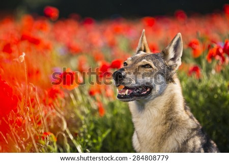beautiful Czechoslovakian wolfdog dog in poppy seed flower - stock photo