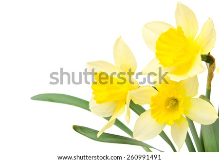 Beautiful daffodil isolated on white background - stock photo