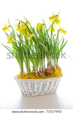 Beautiful daffodils in white wicker basket, isolated. - stock photo