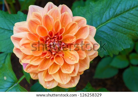 beautiful dahlia flower and water drop in garden - stock photo