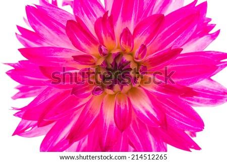 Beautiful  Dahlia Flower  Isolated on White Background - stock photo