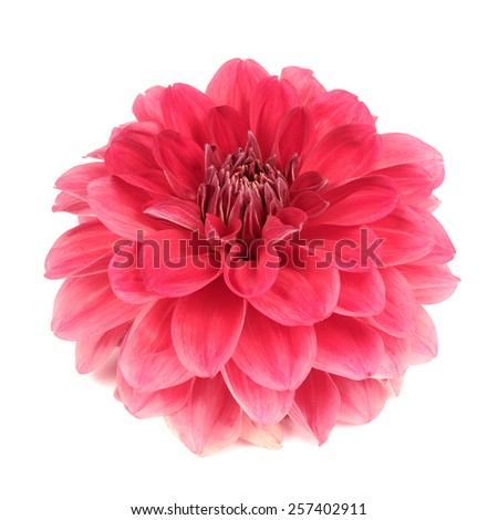 Beautiful Dahlia Flower Isolated on White Background - stock photo