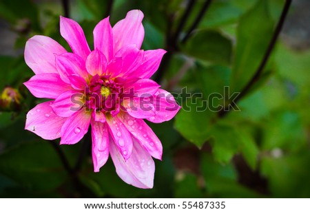 beautiful Dahlia flower with lots of copy space on the right - stock photo