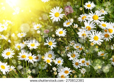 Beautiful daisies illuminated by the sun - stock photo