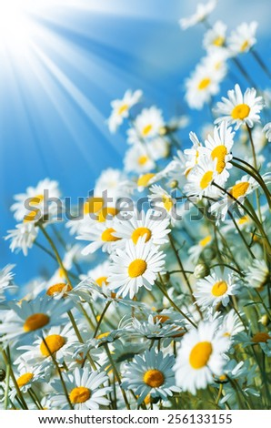 Beautiful daisies in the sun on the sky background - stock photo