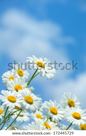 Beautiful daisies on a background of blue sky - stock photo