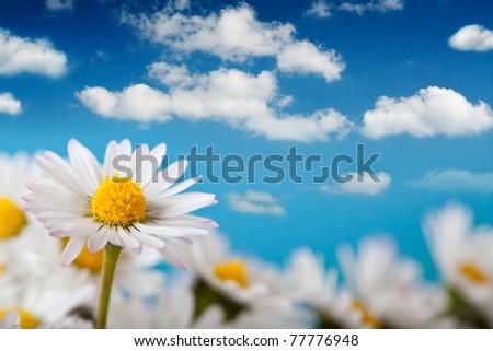 Beautiful daisy and blue sky - stock photo