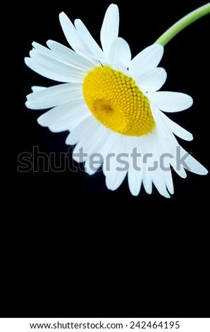 Beautiful daisy closeup on a black background - stock photo