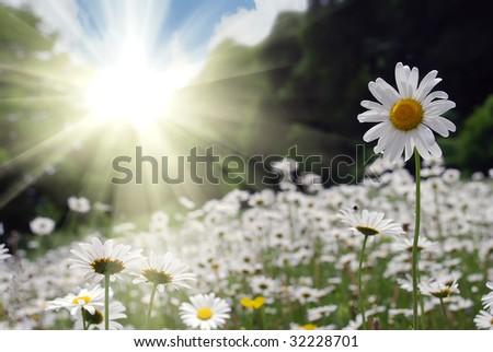 beautiful daisy field against sunny sky - stock photo