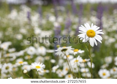 Beautiful daisy field , meadow of daisies beautiful nature background - stock photo