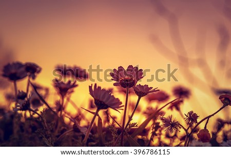 Beautiful daisy field on sunset light, silhouette of little gentle white flowers on orange evening sky background, beauty of wild nature - stock photo