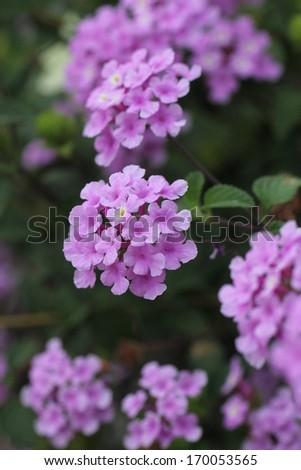 Beautiful Daisy Flower  - stock photo