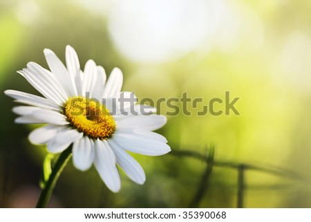 Beautiful daisy flower. Close-up, shallow DOF. - stock photo