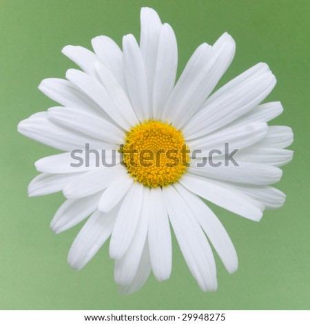 beautiful daisy flower on a green background - stock photo