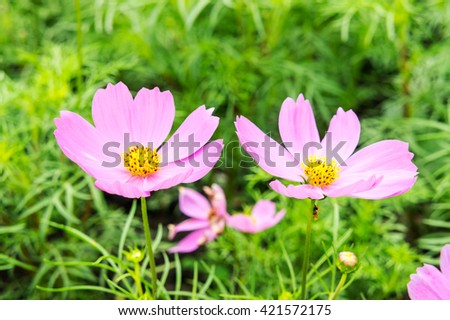 Beautiful Daisy flowers pink blossom with green leaf in the green park garden