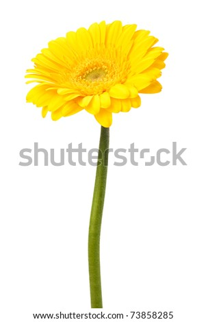 Beautiful daisy gerbera flower isolated on white background - stock photo