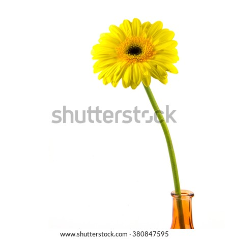 Beautiful daisy gerbera flower isolated on white background / Yellow gerbera flower isolated on white background / yellow gerbera flower isolated on white with clipping path - stock photo