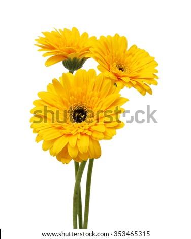 Beautiful daisy gerbera flowers isolated on white background - stock photo