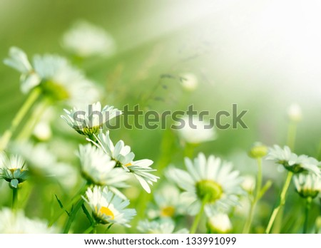 Beautiful Daisy in a meadow - stock photo