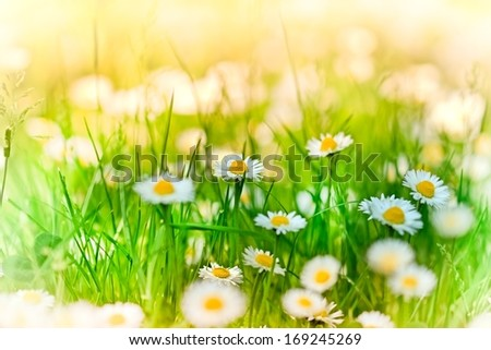 Beautiful daisy in a meadow - spring daisy