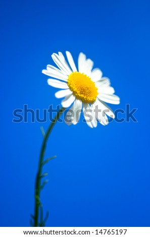 Beautiful daisy on a clear summer day