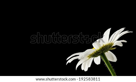 Beautiful daisy on black background. Empty space ready for your text. - stock photo