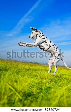 Beautiful Dalmatian dog jumping in a field - stock photo