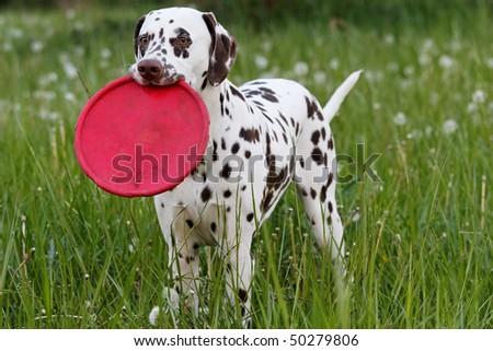 Beautiful Dalmatian on the meadow - stock photo
