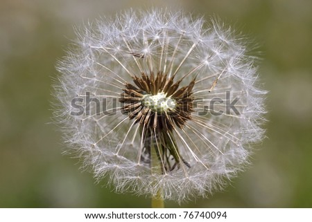 beautiful dandelion - stock photo