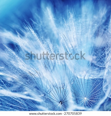 Beautiful dandelion background, abstract floral blue backdrop, macro photo of gentle dry soft flower, beauty of spring nature - stock photo
